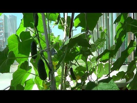 Как правильно прищипывать огурцы на балконе видео для начинающих