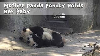 Mother Panda Fondly Holds Her Baby | iPanda