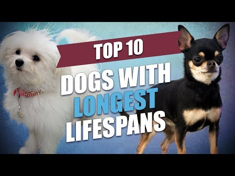 Top 10 Healthiest Dog Breeds With Longest Lifespan
