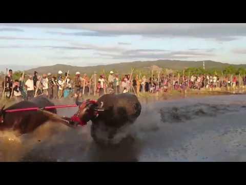 barapan-kerbau---buffalo-race---balapan-kerbau-part-2