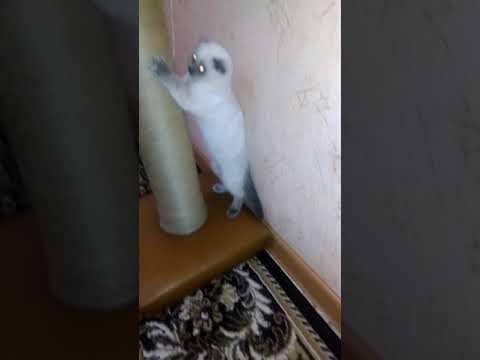 Шотландская вислоухая кошка, окрас Блю пойнт