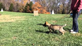 "German Shepherd Puppy ""cayenne"" Protection & Obedience Trained K9 For Sale"