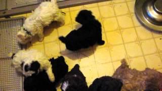 Callie Puppies At 5 Weeks Old