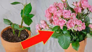 How to grow 100 rose bushes from ONE