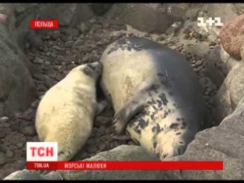 В польском заповеднике пополнение тюленей