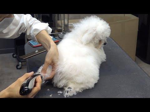 Dog Pet Baby Bichon Frise First Bath&Grooming