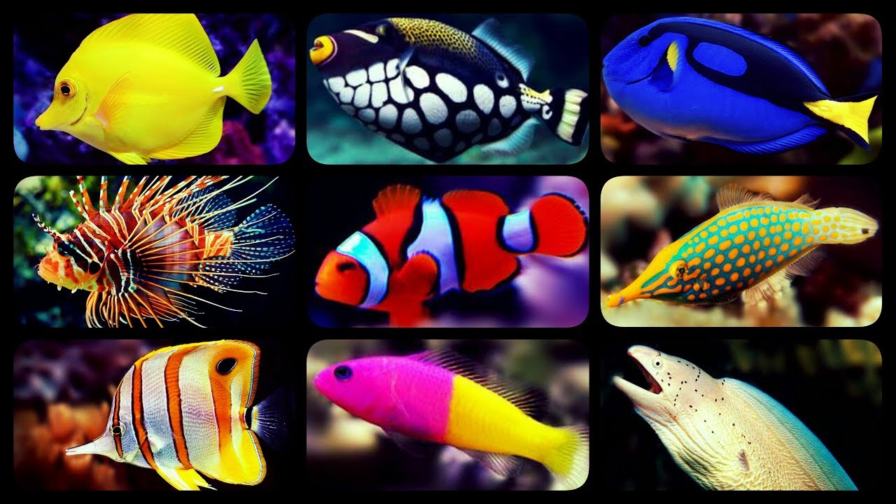 Types Of R Aquarium Fish C Reef Tank Sharks Puffers Clownfish
