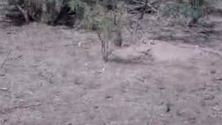Prairie Dog barking
