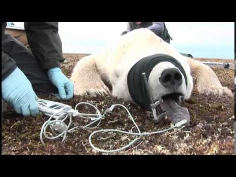 Studying the Effects of Climate Change on Ontario's Southern Hudson Bay Polar Bears