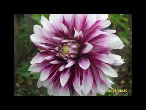 Цветы георгины в саду, дворе, на даче. Красивые фото георгин