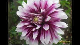 Цветы георгины в саду, дворе, на даче. Красивые фото георгин(Цветы георгины, подобны разноцветной радуге по всему вашему саду. Любуемся этими прекрасными цветами в..., 2014-09-29T18:41:56.000Z)