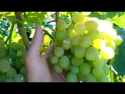 Талисман - виноград
