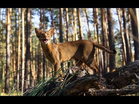 كل المعلومات عن القط الحبشي Abyssinian  cat