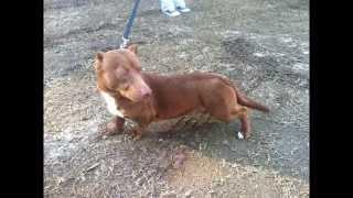 Rami The First Pitbull-dachshund Dog