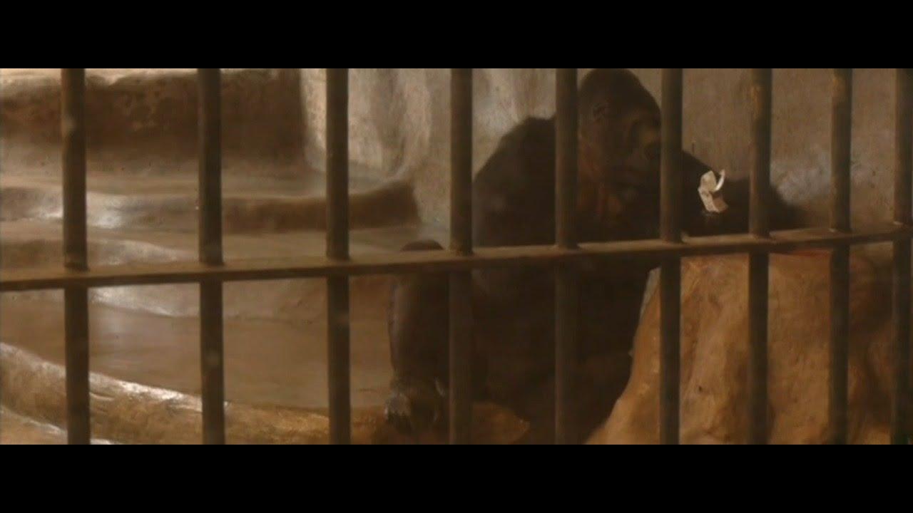 Cher campaigning to rescue Thai gorilla