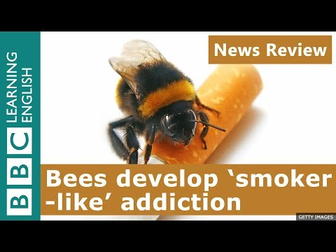 Bees develop 'smoker-like' addiction: News Review
