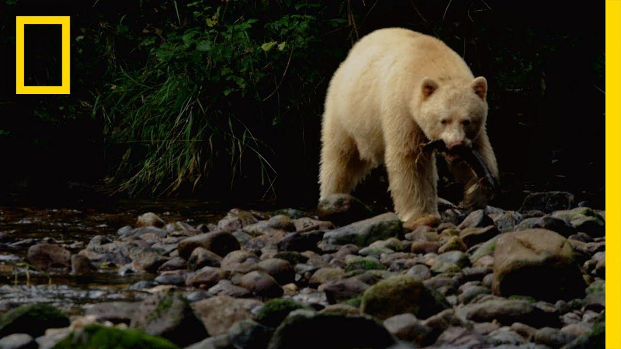 Spirit Bear Salmon Feast | Untamed Americas