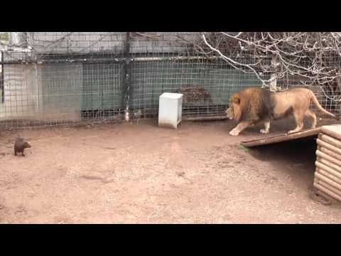 Bonedigger the lions playing with his dogs