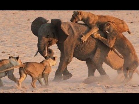 Botswana Lion Brotherhood | National Geographic Documentary 2015