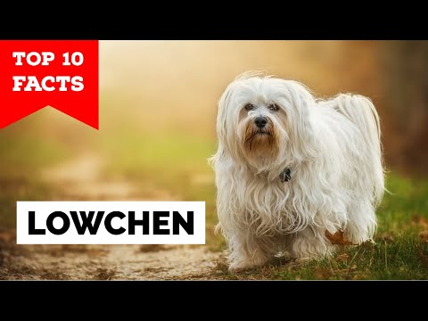 Lowchen  Top 10 Facts