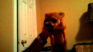 Pissed Off Chihuahua At Control