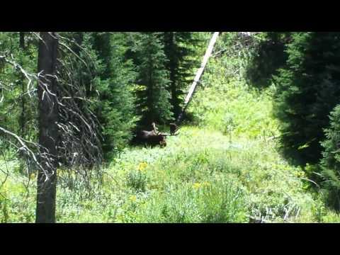 Bull Moose in Yellowstone