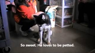 Aspen A Special Needs Siberian Husky At Husky House Dec. 27 2013