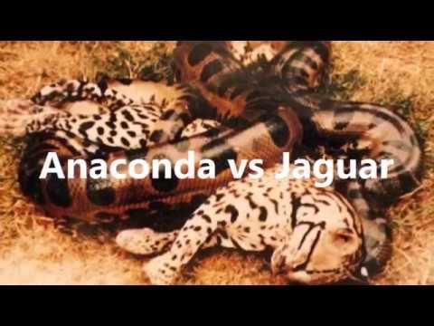 Anaconda vs Jaguar Dangerous Fights Animal Anaconda vs ...