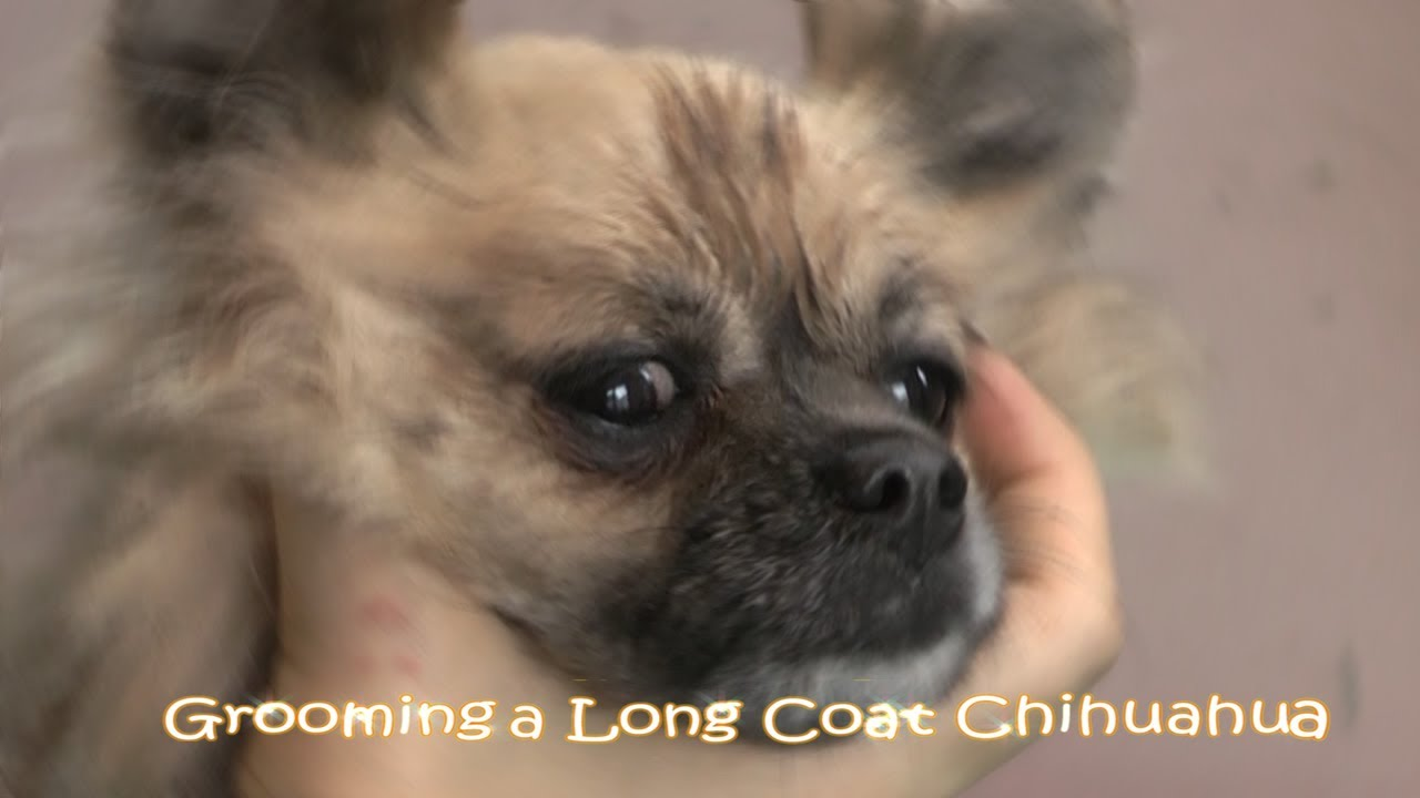 hair chihuahua grooming styles grooming the chihuahua 7476