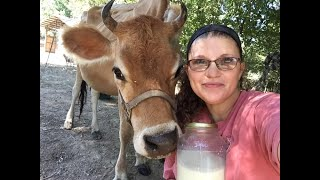 Milking our Jersey cow Lucy | Filtering Raw cows milk | How we milk without a milk stand