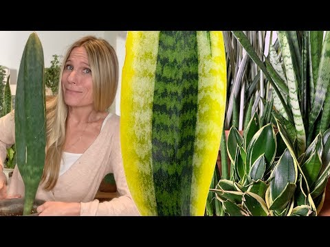 Snake Plants (Sansevieria) :  A Complete Care Guide!