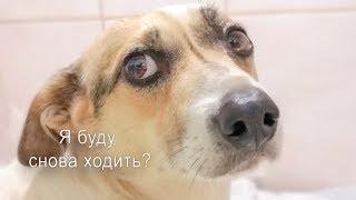 До слез Радость и первые шаги собаки инвалида Чобика после операции