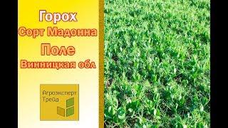 Горох Мадонна -  поле в Винницкой области Украина