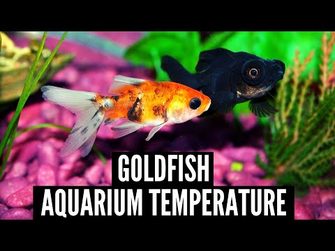 Aquarium Temperature For Goldfish 🐟 What Temperature Should My Fish Tank Be?
