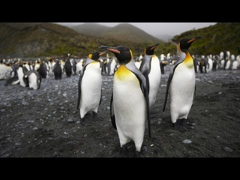 Penguins and other wildlife of Macquarie Island