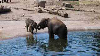 Asiatische Elefanten im Kölner Zoo beim Baden Teil I