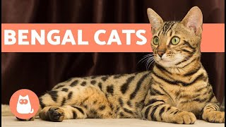 funny Bengal Cats playing and jumping