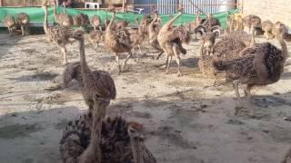 Ostrich Farming Pakistan
