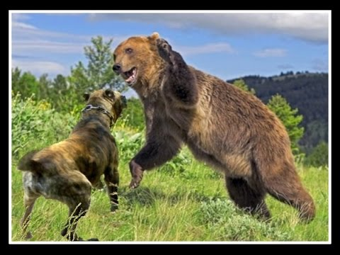 Bear Attacks Presa Canario - YouTube