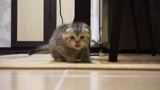 Котенок Скоттиш фолд \  Scottish Fold kitten