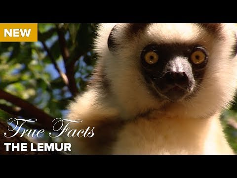 True Facts: The Lemur