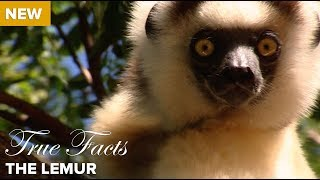 True Facts: The Lemur