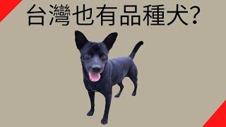【品種動物系列】台灣犬/台灣土狗