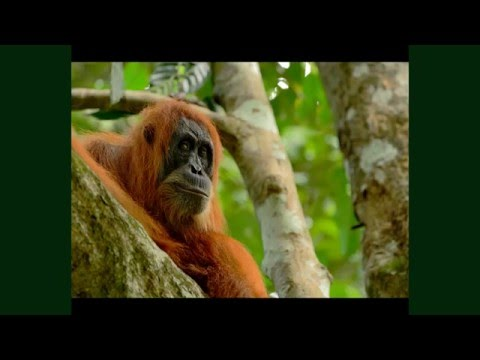 The Plight Of The Sumatran Orangutan-By Craig Jones