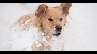 Search-and-Rescue Dog: A Hero in the Snow