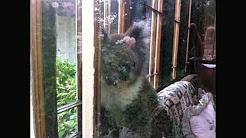 Koala visits Victoria House Portland, Australia
