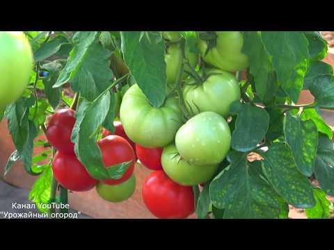ЛУЧШИЙ ТОМАТ ДЛЯ ПРОДАЖИ И ЗАРАБОТКА ! КАК ЗАРАБОТАТЬ ДЕНЬГИ НА ТОМАТАХ | заработать | урожайные | заработок | фермеры | томатах | продажу | продажа | томаты | лучший | деньги