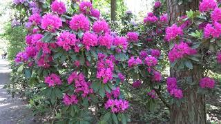 Питомник Рододендронов Бабите (Рига) - Rhododendron Breeding Nursery Babite (Riga) 2021