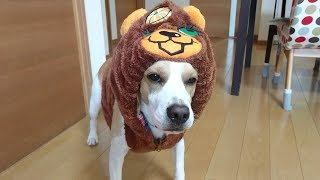 ビーグル #うぃるさん #Beagle 子供服を残していてよかったです。w ...