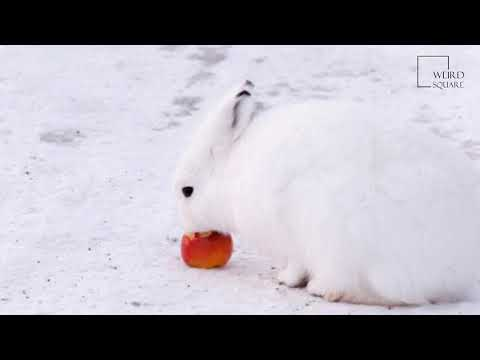 Interesting facts about Arctic Hare by weird square